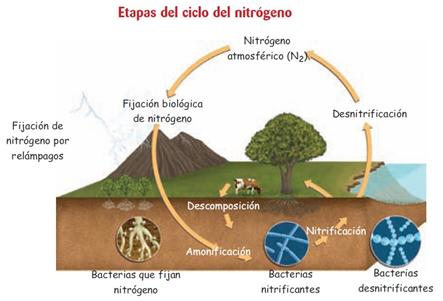 etapas ciclo N