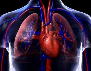 fotos sistema cardiovascular