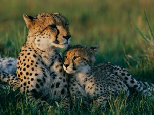 cheetah-mother-cub_13420_990x742