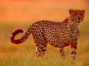 cheetah-tall-grass-botswana_28385_990x742