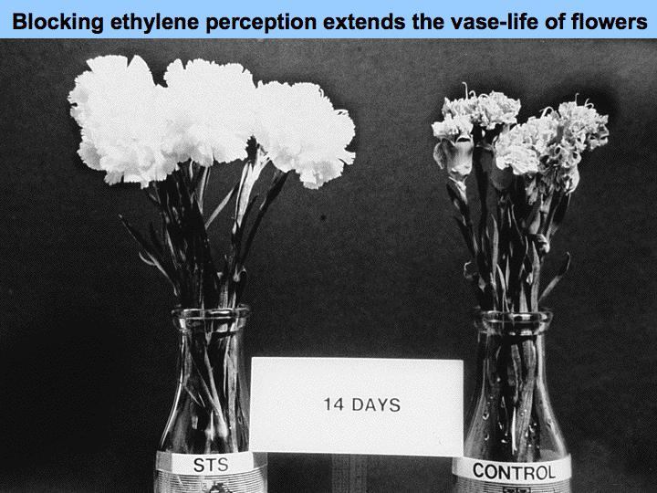 flores inhibicion etileno