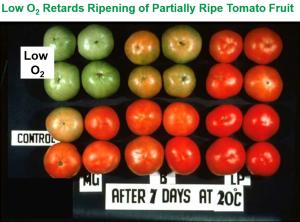 postcosecha tomate