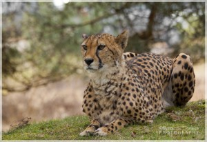 the_cheetah_by_mattnick-d3edi46