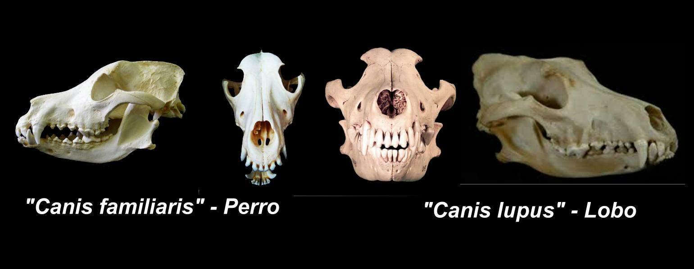Los cráneos y la paleontología - MasScience