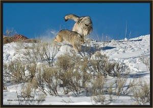 Wolf-Chasing-Coyote