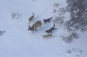 Druid wolf pack chasing bull elk; Doug Smith; December 2007