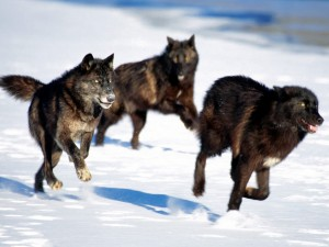 desktop-hd-red-wolf-facts-and-pics-2048x1536