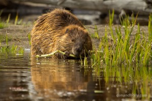 fishing bridge beaver