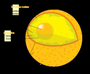 Núcleo celular, el orgánulo más fundamental en la célula.  Créditos: Wikipedia.org